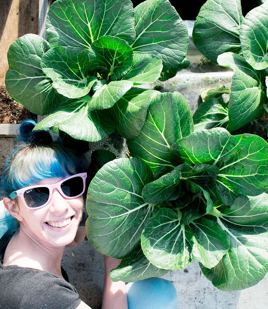 Time To Pick Bok Choy In The Garden Brooklyn Farm Girl