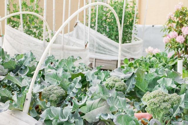 Broccoli Harvest 2014_2