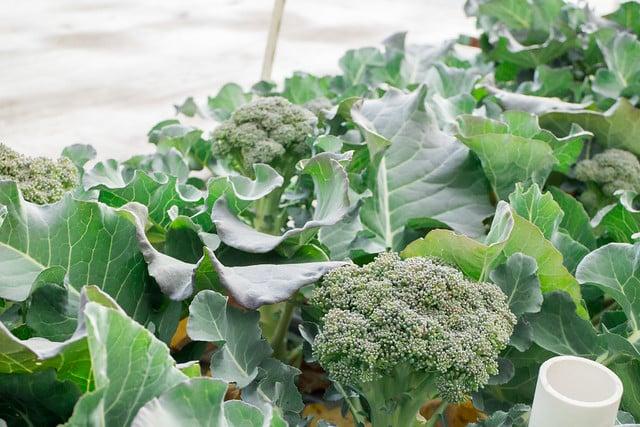 Broccoli Harvest 2014_5