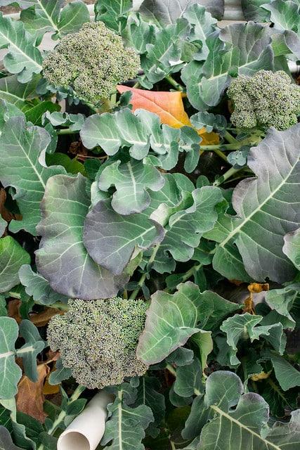 Broccoli Harvest 2014_1