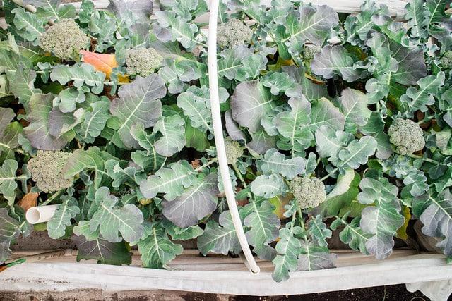 Broccoli Harvest 2014