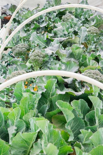 Broccoli Harvest 2014_4