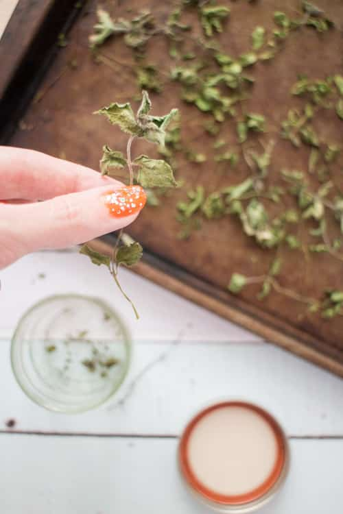 How to Dry Mint for Tea Leaves_5