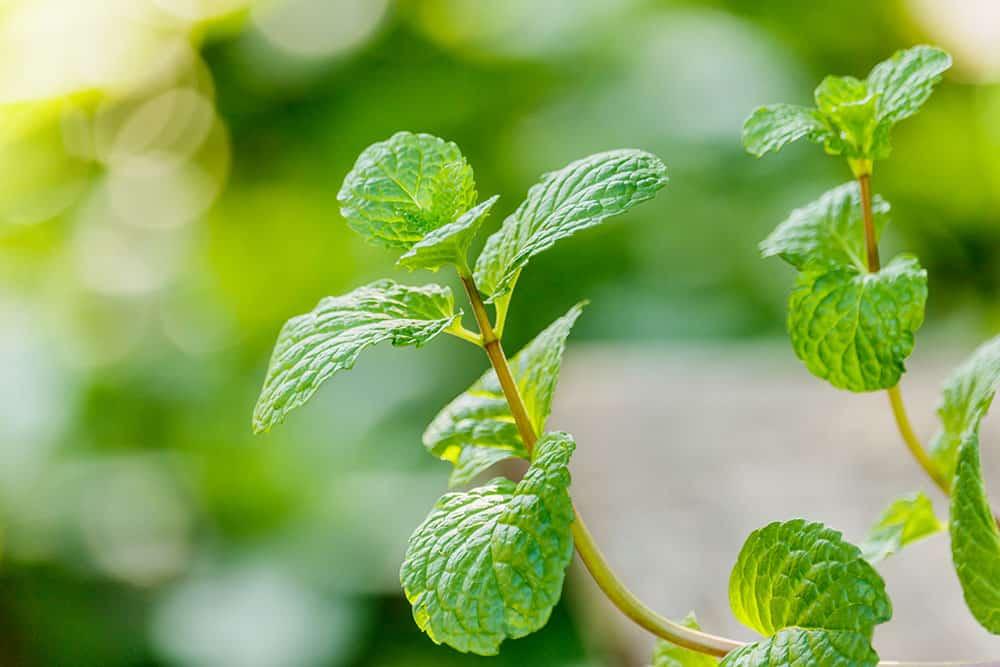 Mint Leaves for Tea