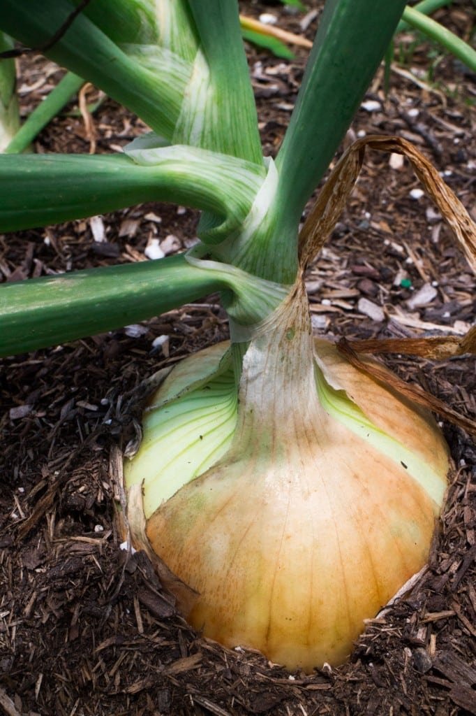 How To Store Onions Using Pantyhose.  This is a great and cheap way to store onions to make them last for months. Follow these step by step instructions!