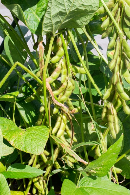 Picking Soybeans 2014_4