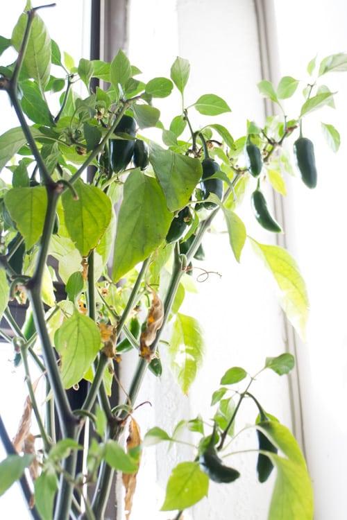 The Amazing Jalapeno Plant_13