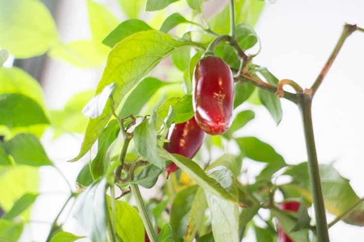 The Amazing Jalapeno Plant_2