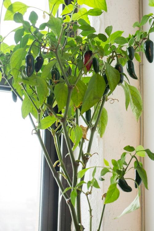 The Amazing Jalapeno Plant_9
