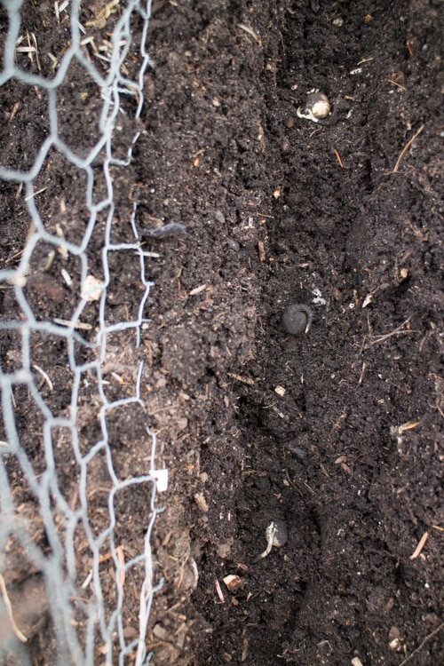 Sugar Snap Pea Planting Spring 2015_4