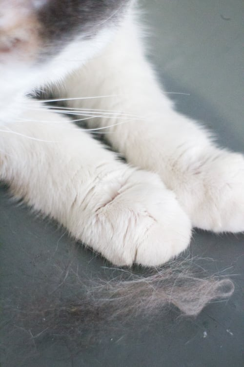 Furry Cats and Hair Everywhere_1