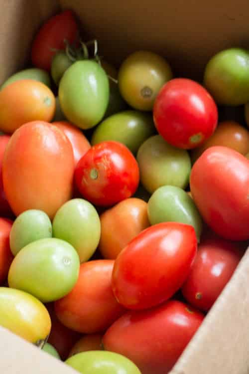 How to Make Tomatoes Turn Red_3