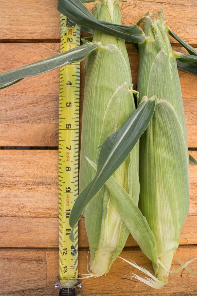 Step by step instructions on how to grow Sweet Corn. It's easy to grow!