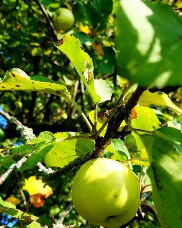 Wild Crab Apples Recipe