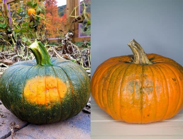 Easy tips on how to turn green pumpkins orange quickly indoors.   This works for small and large pumpkins.