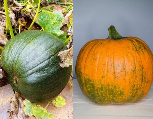 Easy tip on how to turn green pumpkins orange quickly indoors. This works for small and large pumpkins.