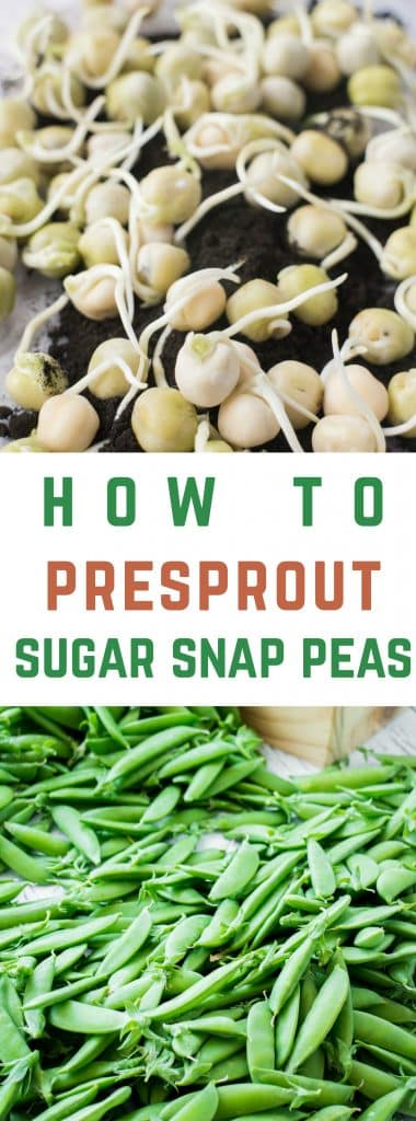 Easy step by step instructions on how to presprout and grow Sugar Snap Peas.  By doing this you'll be sure that the seeds won't rot before they sprout under the soil resulting in a successful plant and many pounds of sugar snap peas to pick!