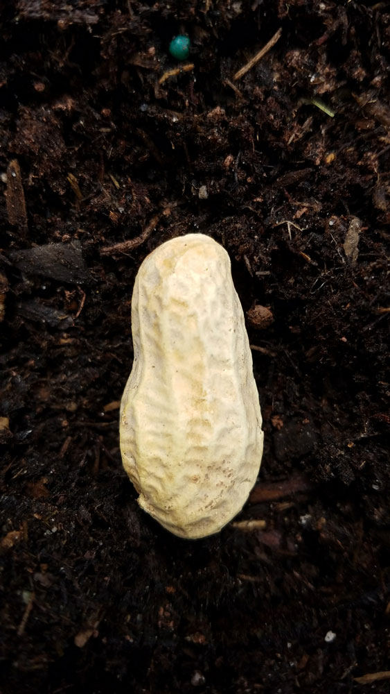 We're growing peanuts in our New York garden for the first time this year! Read on as we plant Jumbo Virginia peanuts!
