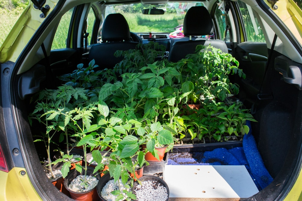 Honda Fit carrying Tomato Plants