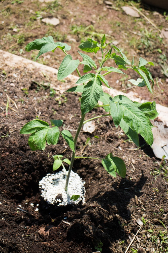 Summer Tomato Planting tips for transplanting indoor tomato seedlings outside to your garden. Follow these growing and planting tips for a big tomato harvest!