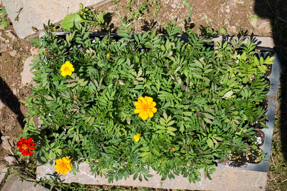 Growing Marigolds From Seeds