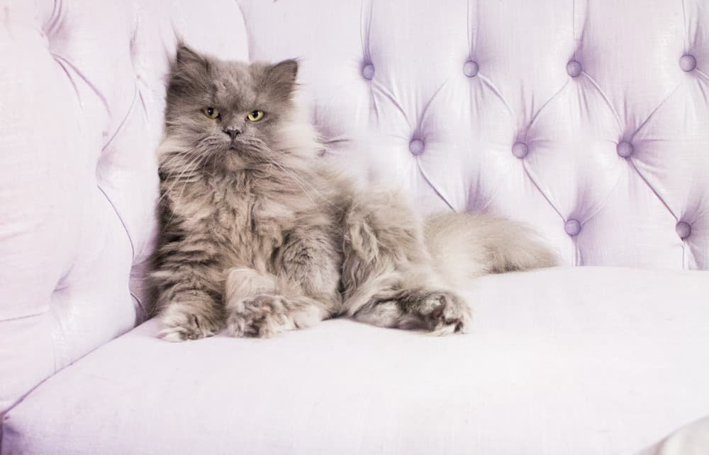 Gray Persian Cat On Couch