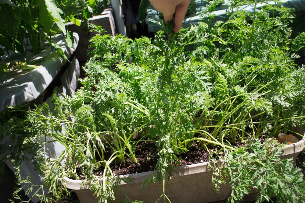 Find out what's growing in our Brooklyn Community Garden space in June! We have a update on peas, tomatoes, onions, kale and peppers!