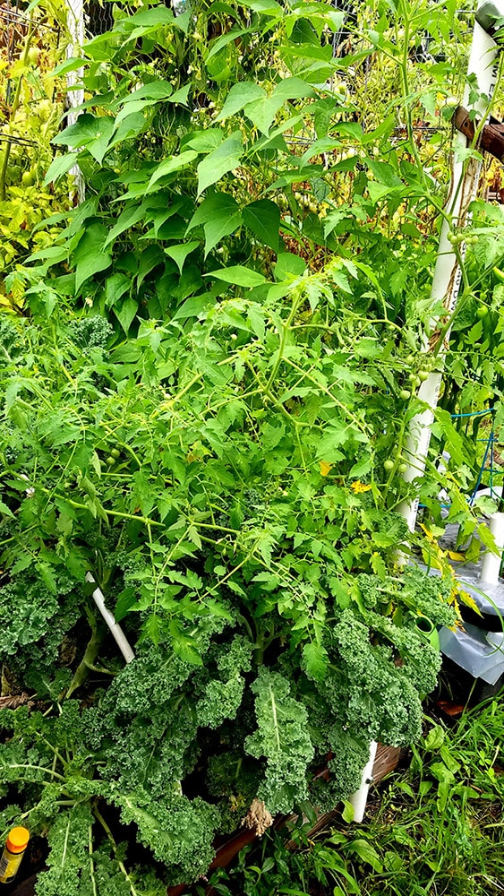 Surprise Tomato Plant