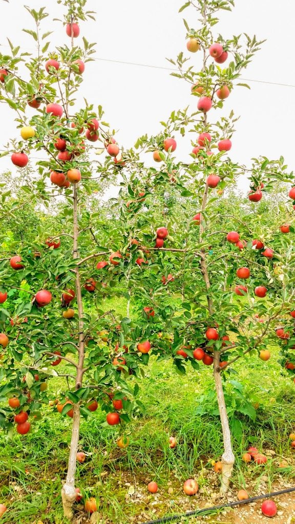 apple trees filled with red apples