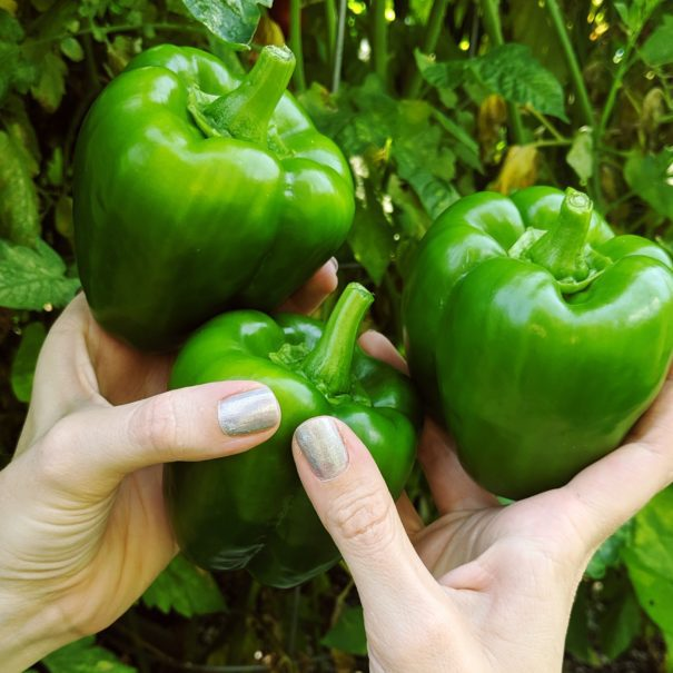 What we're picking in our vegetable garden in NYC in August.