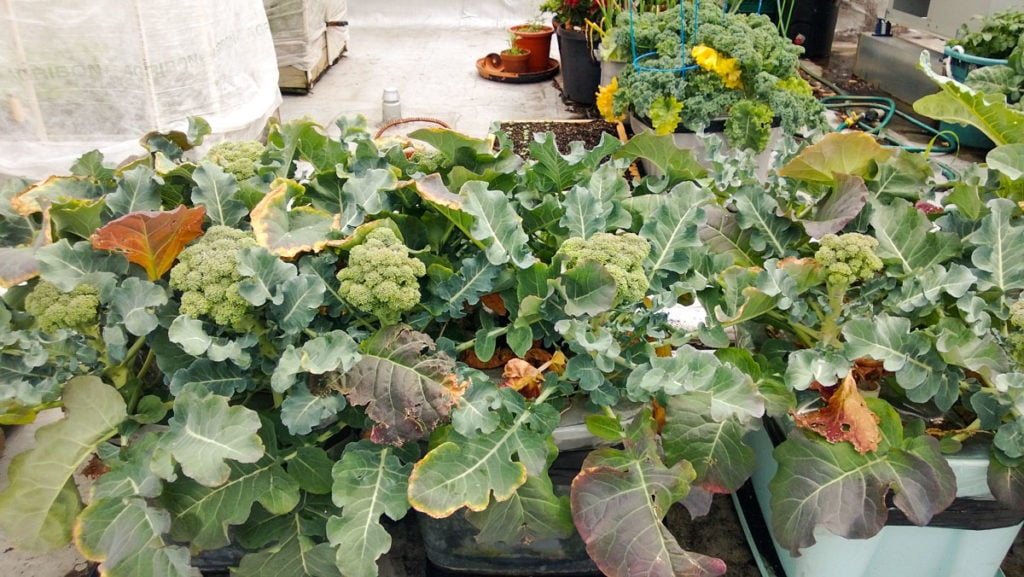 broccoli growing in containers