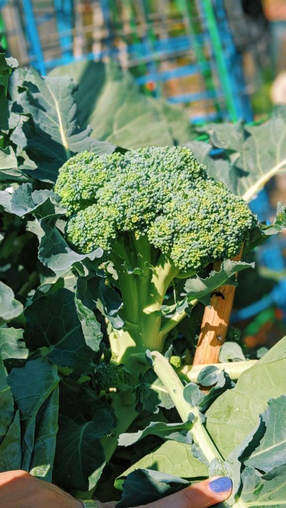big broccoli head growing