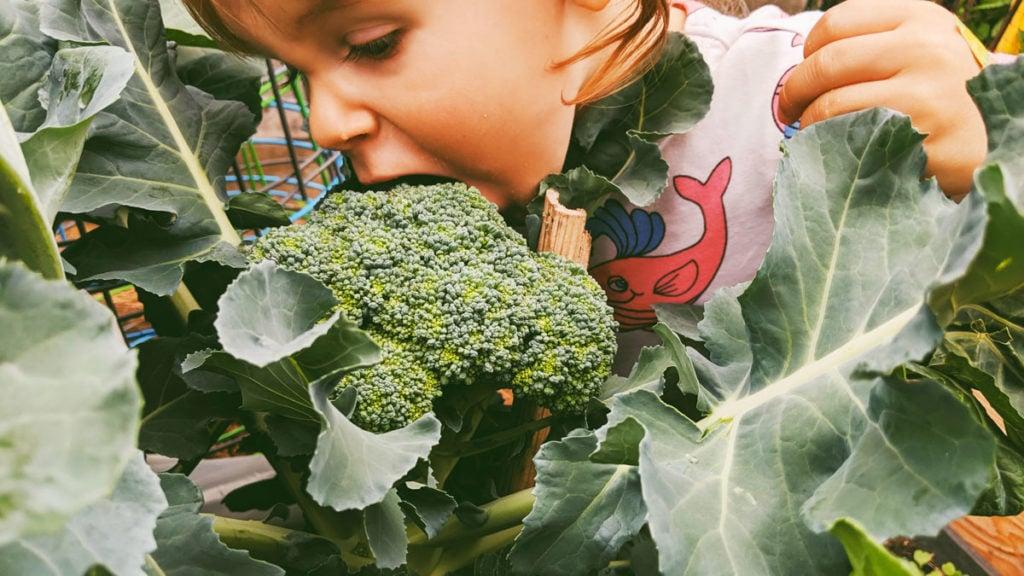 little girl eating broccoli in garden