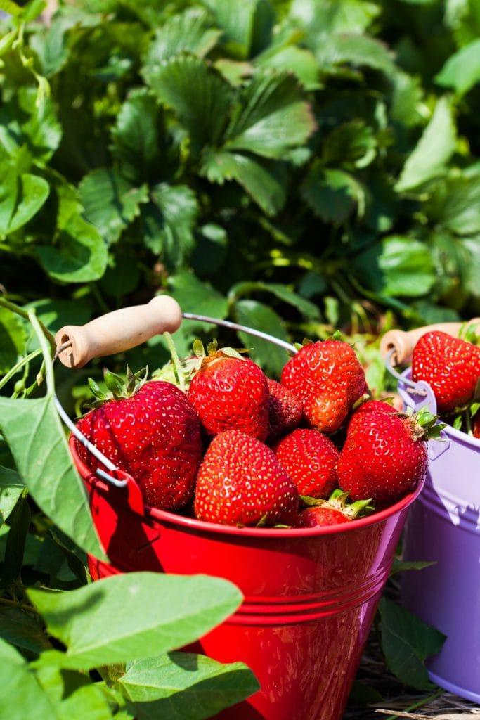 fresh strawberries in bucket in garden
