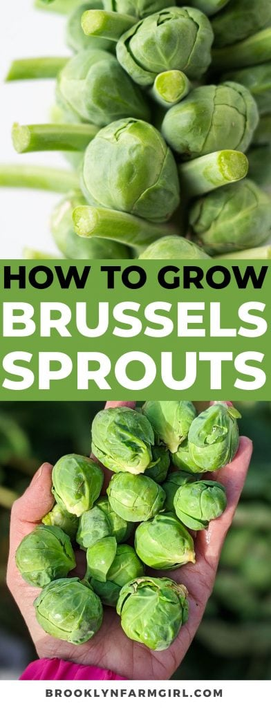 Join me as I pick our Winter Brussels Sprouts in NYC and show you how and when to harvest them.  I also provide general tips on the best conditions for growing and best ways to store them.
