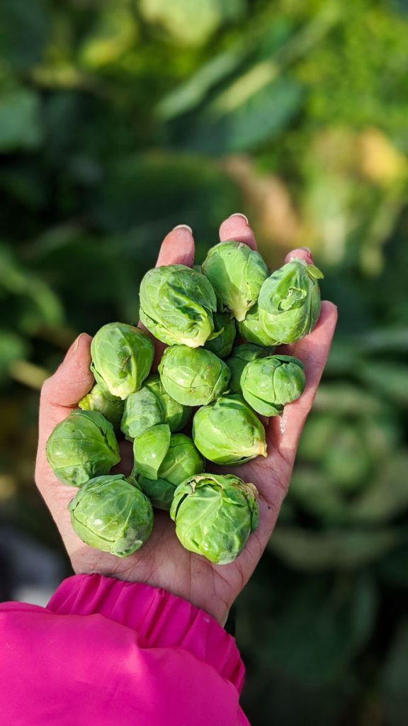 hand holding brussels sprouts in garden