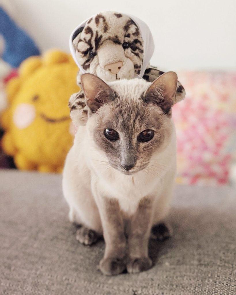 Siamese cat Xanadu Pluto with stuffed cat on her