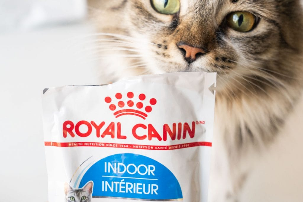 maine coon cat eating royal canin cat food