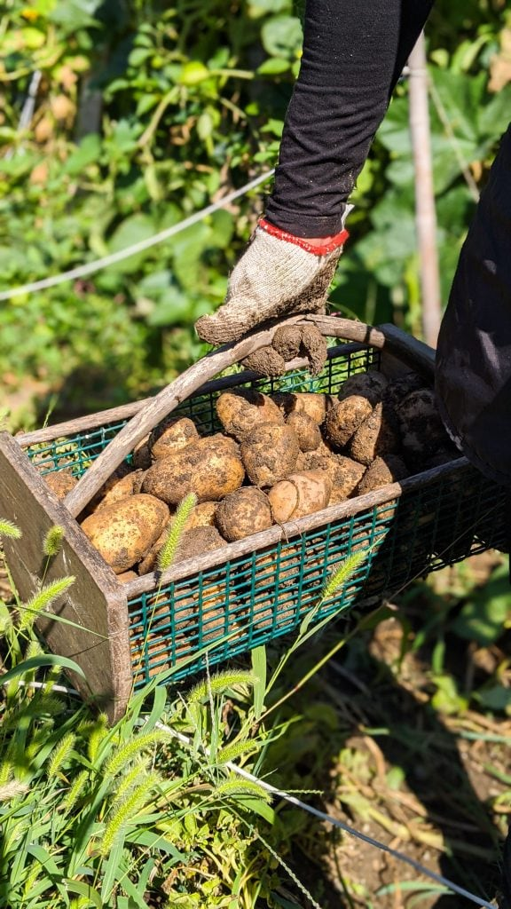 Basket of potatoes in the garden
