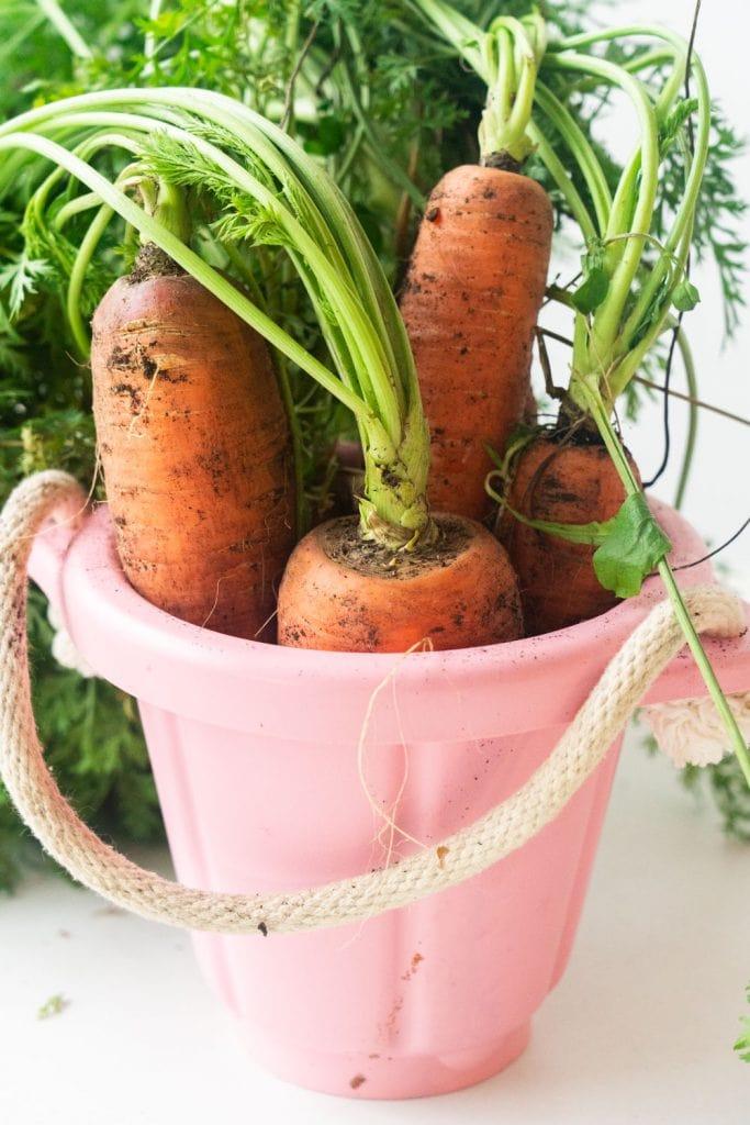 giant orange carrots in pink bucket