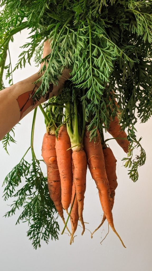 hand holding carrots with green tops on them against white wall.